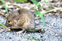 Bush-Rats-Rattus-fuscipes-1.jpg